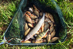 Fish in landing-net on grass Royalty Free Stock Image