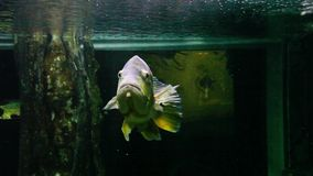 Fish. In a large aquarium a fish swims stock footage