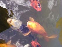 Fish. Large goldfish swimming up to say hello Stock Photo