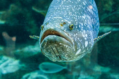 Fish Large grouper royalty free stock photography