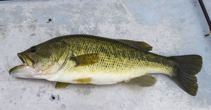 Fish Largemouth Bass on boat seat Stock Photo