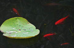 Fish and leaf of lotus. In the pool,there are goldfish around the petiole of lotus Stock Image
