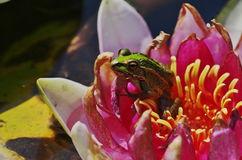 Fish and leaf of lotus. There is a frog on a flowwer of water lilies  in the water Stock Images