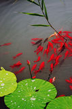 Fish and leaf of lotus. There is a scenery of red fish in the water with green and reed lotus leaves aside Stock Image