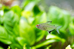 Fish lemon tetra. The lemon tetra, Hyphessobrycon pulchripinnis, is a species of tropical freshwater fish Royalty Free Stock Photo
