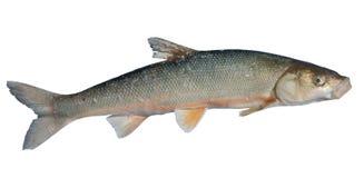 Fish (Leuciscus brandti) 13 Stock Images