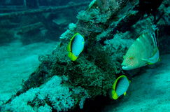 Fish life near shipwreck. Underwater world - shipwreck in the Philippines royalty free stock image