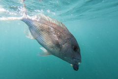 Fish on line Royalty Free Stock Image