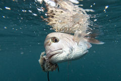 Fish on line Stock Images