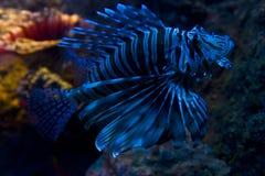 fish lion Στοκ Φωτογραφία