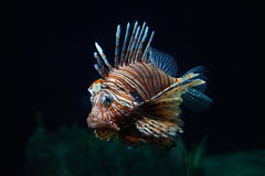 Fish lion close-up under water Royalty Free Stock Photo