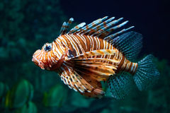 Fish lion close-up under water Stock Image
