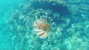 Fish lionfish - dangerous creatures in the Red Sea.  stock footage