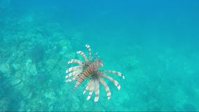 Fish lionfish - dangerous creatures in the Red Sea.  stock video