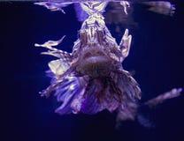 Fish lionfish Royalty Free Stock Photography