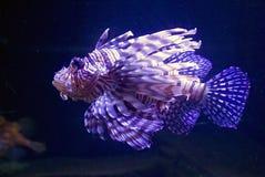 Fish lionfish Zebra Royalty Free Stock Image