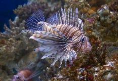 Fish lionfish Zebra Stock Photography