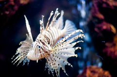 Fish lions Royalty Free Stock Image