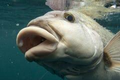 Fish lips Stock Photo