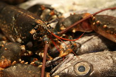 Fish and lobsters Stock Photography