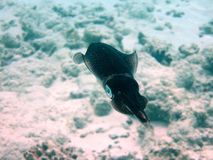 Fish : Loligo vulgaris. A little Loligo vulgaris from Maldives Stock Photos
