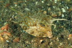 Fish - Longhorn cowfish Royalty Free Stock Photography