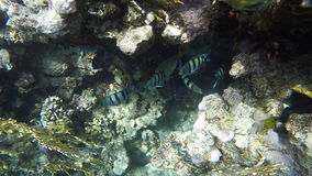 Fish looking for food among the corals stock video footage