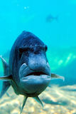 Fish looks like human face. A fish looks like an grumpy old man stock images
