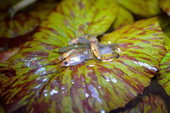 Fish on lotus leaf. Macro group molly fish on lotus leaf Royalty Free Stock Photo