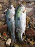 Fish for lunch. Fish hunted with harpoon Royalty Free Stock Photography