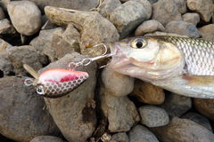 Fish on lure Royalty Free Stock Images
