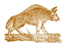 A fish lying on the ground in front of a striped hyena hyaena h. Yaena in profile view. Illustration after a historic woodcut engraving from the 17th century Stock Photos