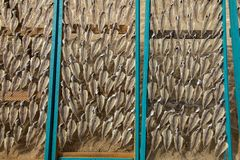 Fish lying on nets, dried in the sun, on the beach in Nazare, Po royalty free stock photo