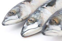 Fish mackerel Stock Images