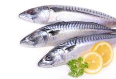 Fish mackerel Stock Photography
