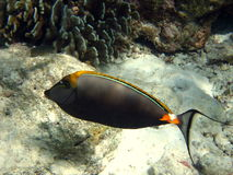 Fish : Maldivian Naso Tang. An orange and dark fish in Maldivian ocean,  different from other species of Unicornfish Royalty Free Stock Images