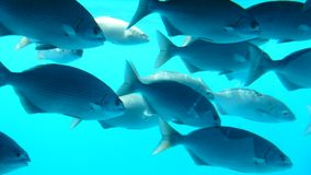 Fish in Manihi Stock Image