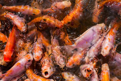 Fish in many shades. Of orange densely packed in a body of water royalty free stock image