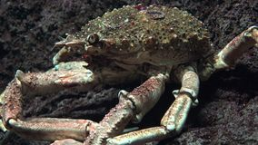 A Crab Marine Life. Fish and marine life underwater stock video footage