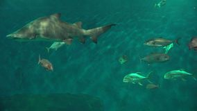 Shark And Fish Swimming stock footage