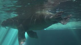 A Walrus In Aquarium stock video footage