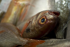 Fish Market. Fish on the fish market displayed on ice royalty free stock photography