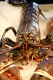Fish market - lobster. Fish market - detail of big lobster Stock Image