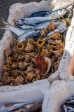 The fish market of the port of Fiumicino where fishermen sell freshly caught fish, octopus, shrimp, malyusks, oysters Stock Images