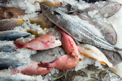 Fish market. Red snappers and sea bream and other fish for sale at fish market Royalty Free Stock Image