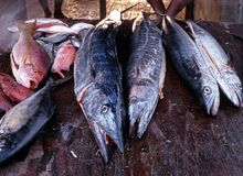 Fish market stall, Tobago. Fresh fish on display at the fish market, Tobago, Trinidad and Tobago, Caribbean Royalty Free Stock Photo