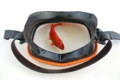 Fish in mask. Goldfish swimming in swimming mask stock image