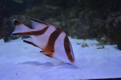 Fish. Medium fish in the aquarium Royalty Free Stock Photography
