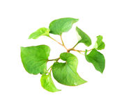 Fish Mint Stock Images