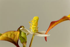 Fish mint plant Houttuynia cordata Stock Photography